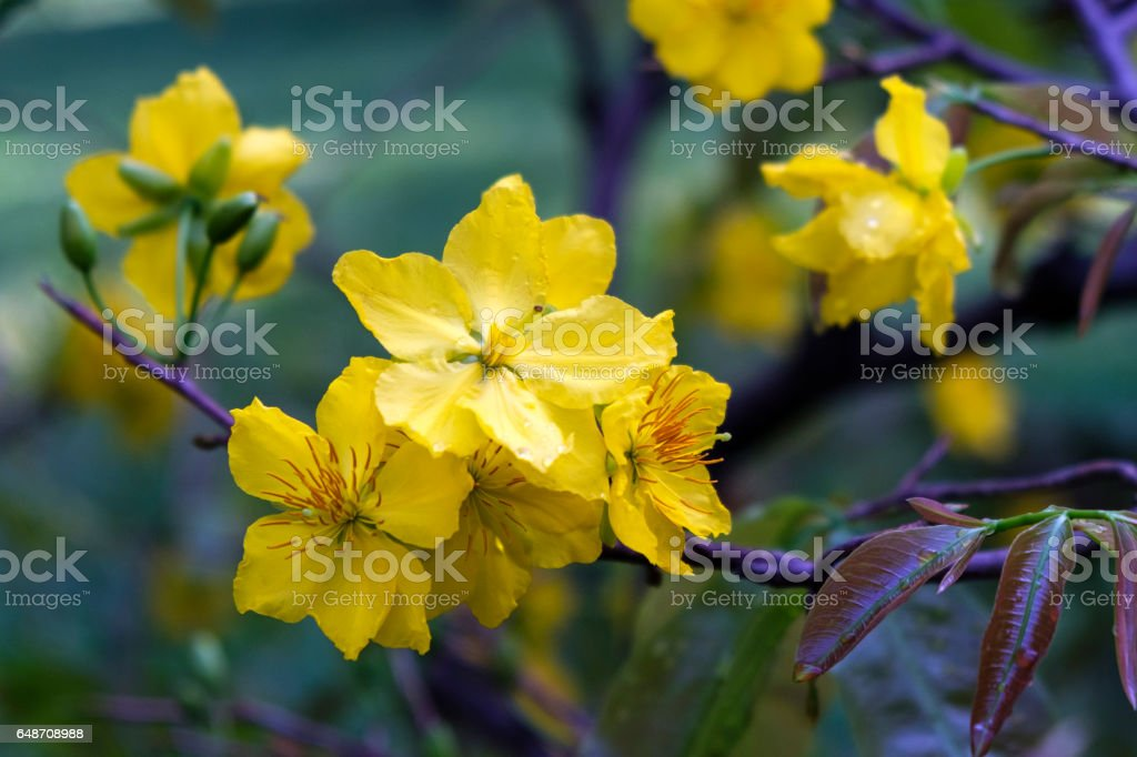 The shimmering apricot flower bloom stock photo