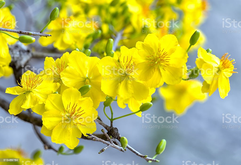 The shimmering apricot flowers bloom in the wind stock photo