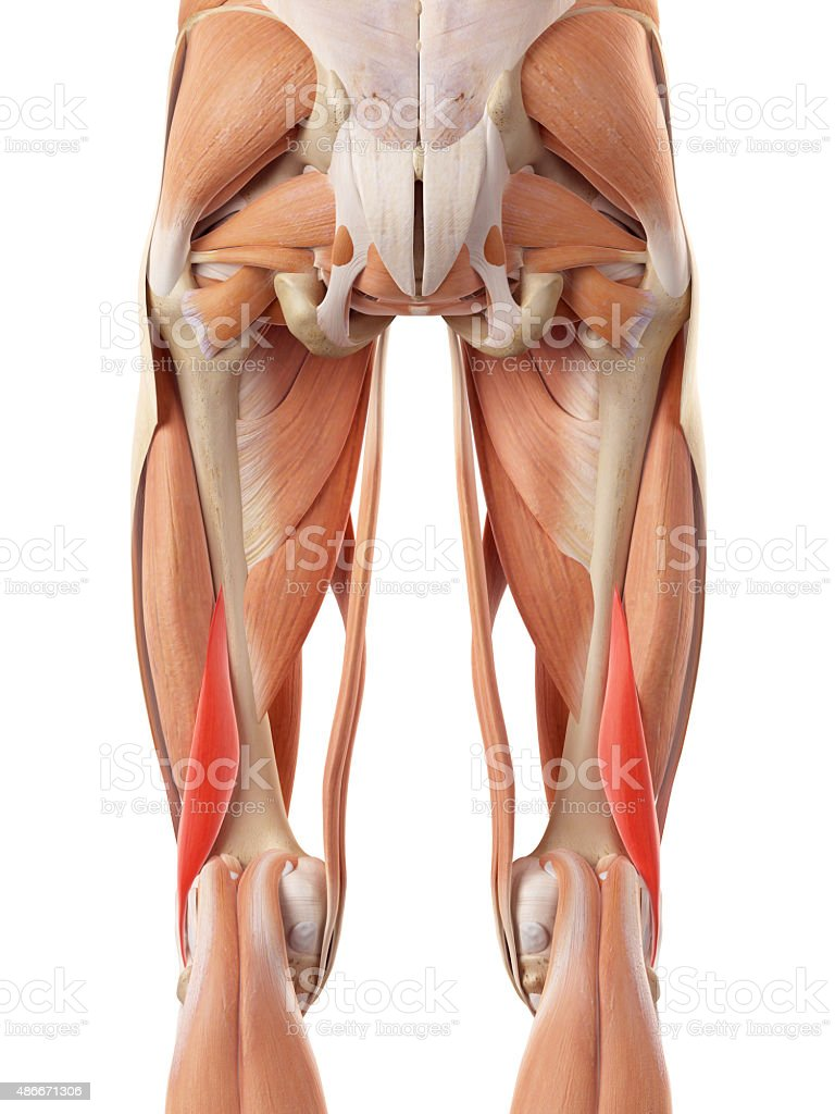 The Short Biceps Femoris Stock Photo More Pictures Of 2015 Istock