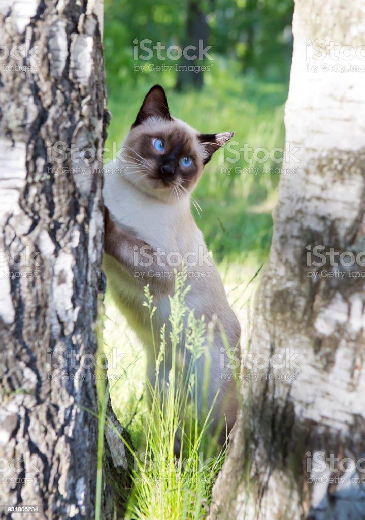 짧은 머리 젊은 고양이 인감 버 치에 파란 눈을 가진 색을 가리킨 - 로열티 프리 고양잇과 스톡 사진