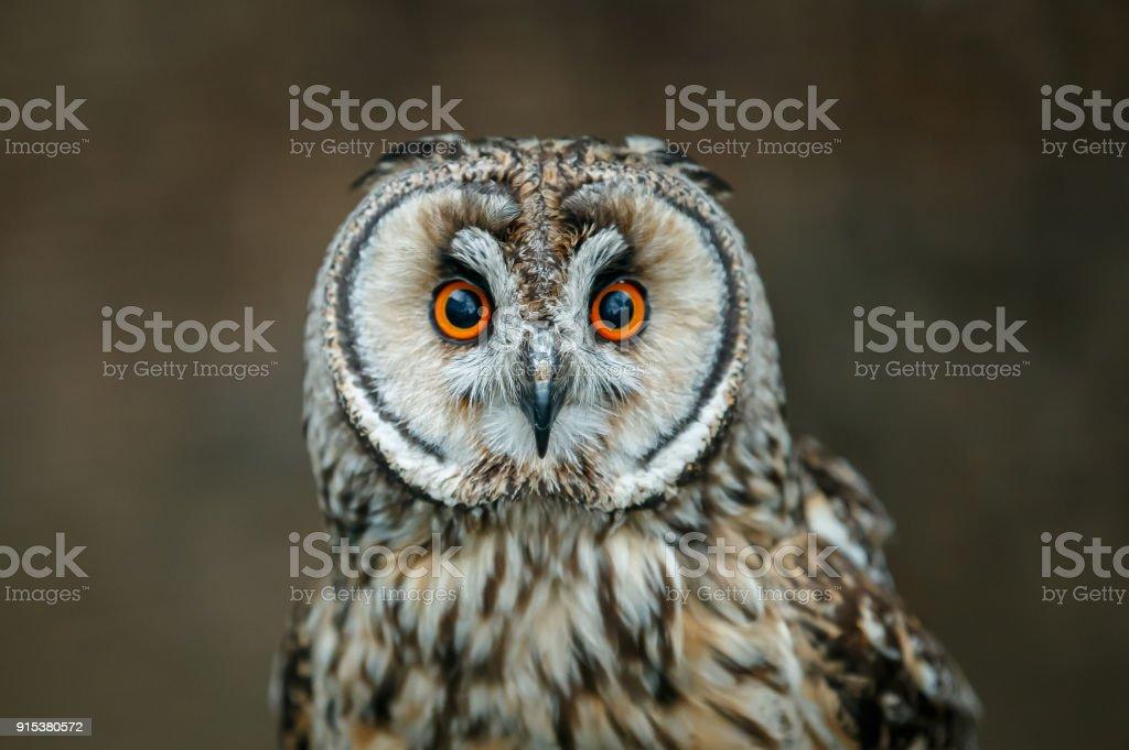 The short-eared owl stock photo
