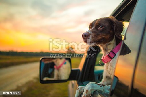 Dog hanging out the window at sunset.