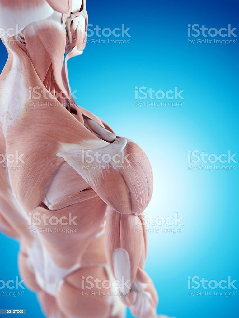 the shoulder anatomy stock photo
