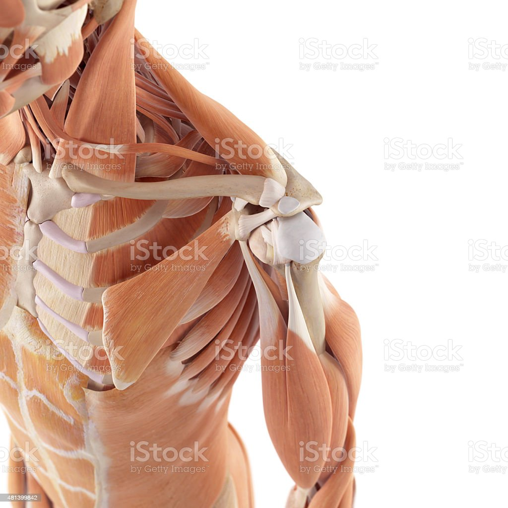 the shoulder muscles stock photo