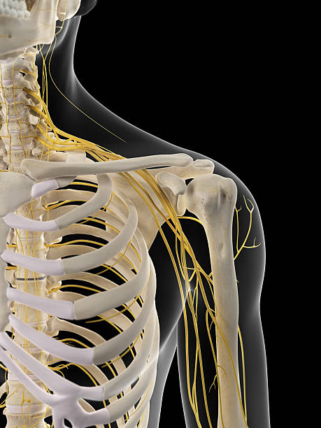 The shoulder nerves medically accurate illustration of the shoulder nerves intercostal space stock pictures, royalty-free photos & images