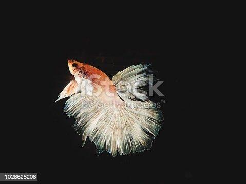 istock The Siamese fighting fish 1026628206