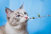 istock The Siamese point lynx wants to eat a leaf. 1243289728