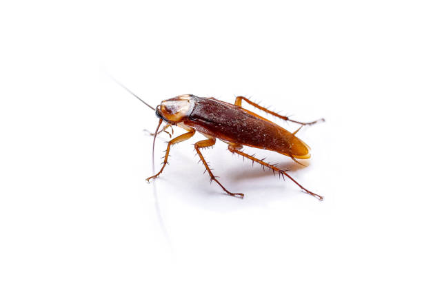 the side view cockroach thailand isolated on white background, copy space. - arto di animale arto foto e immagini stock
