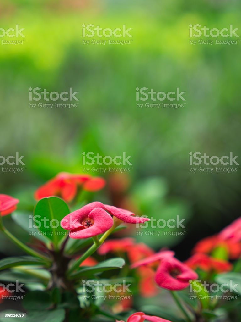 The Side View of Red Euphorbia milii Flowers Blooming stock photo