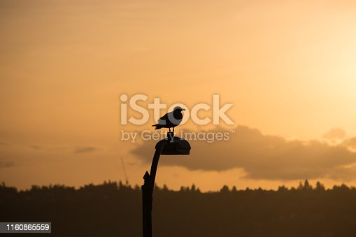 The silhouette of a seagull on a street lamp at Victor Steinbrueck Park in Seattle, WA during golden hour.