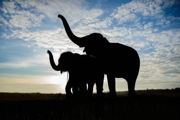 the silhouette of elephants - elefanten umriss stock-fotos und bilder