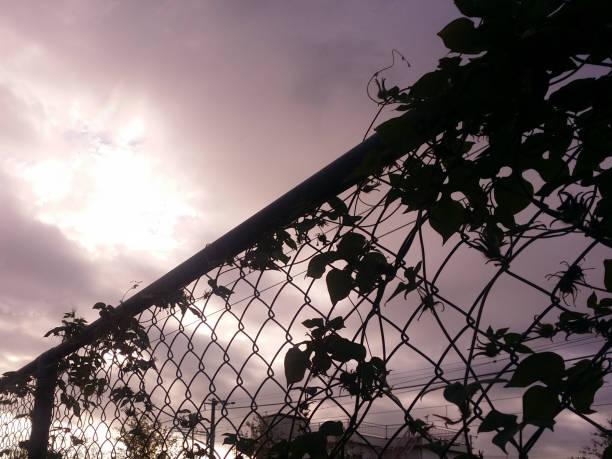 朝顔フェンスに関与のシルエット。 ストックフォト