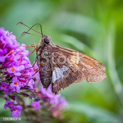 Hespérie à taches argentées butine un arbuste à papillon.