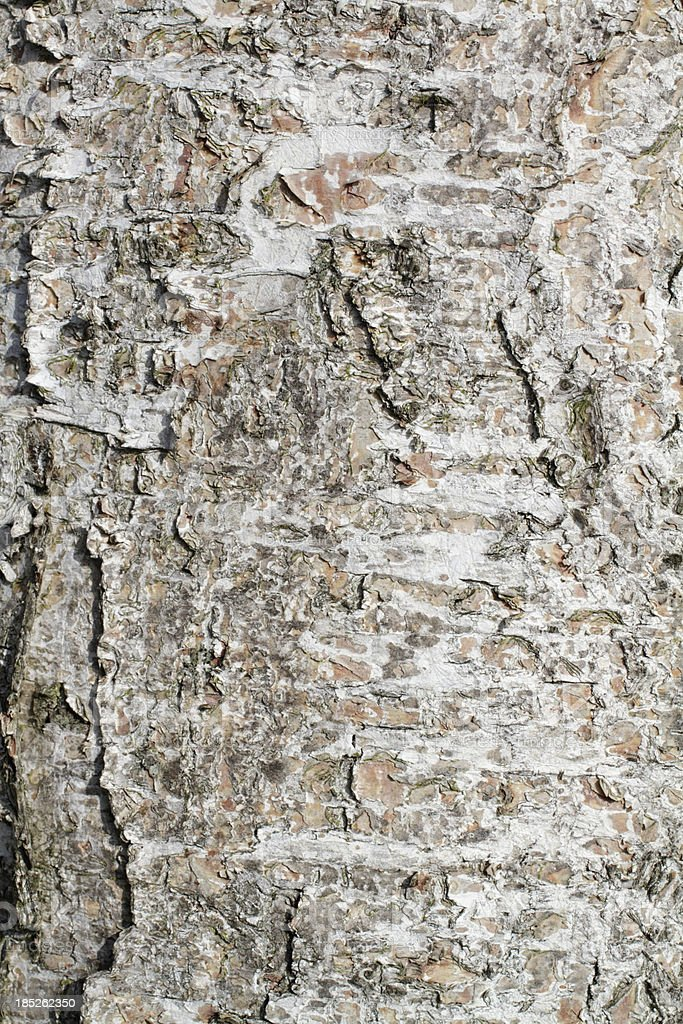 Rough bark of silver birch background royalty-free stock photo