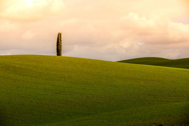 The single cypress at the Tuscany hills stock photo