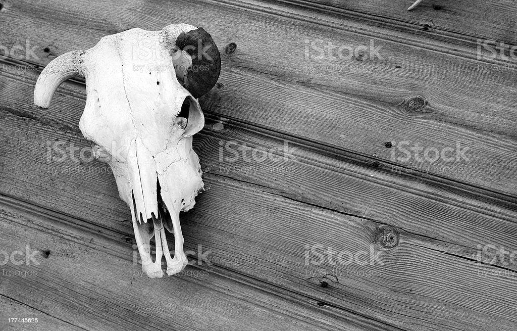 The Skull Cow Bone Mounted to Out Building royalty-free stock photo