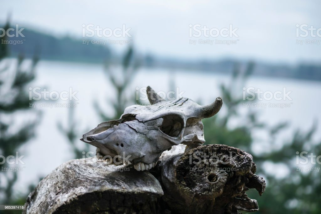the skull of a dead animal lies on a decrepit fallen stump royalty-free stock photo