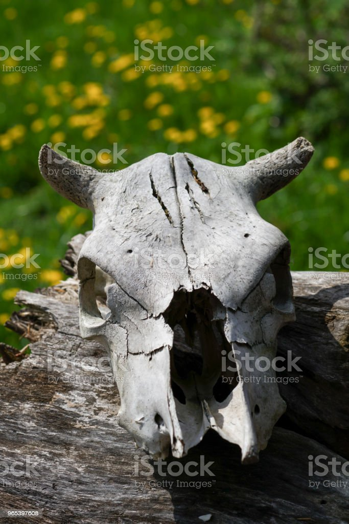 the skull of a dead animal, old age and time,close-up of a cow head with horns zbiór zdjęć royalty-free