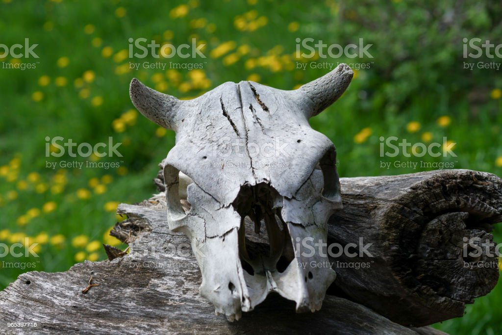 the skull of a dead animal, old age and time,close-up of a cow head with horns royalty-free stock photo