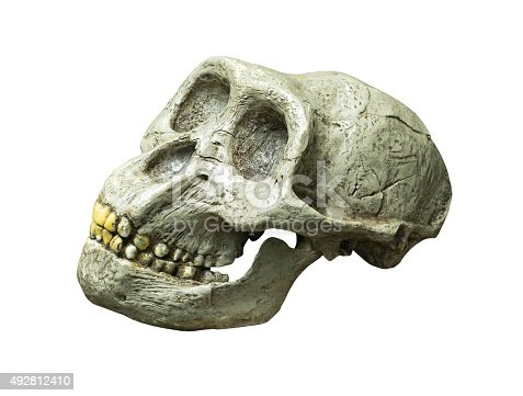 The skull of Australopithecus africanus from Africa on the white background
