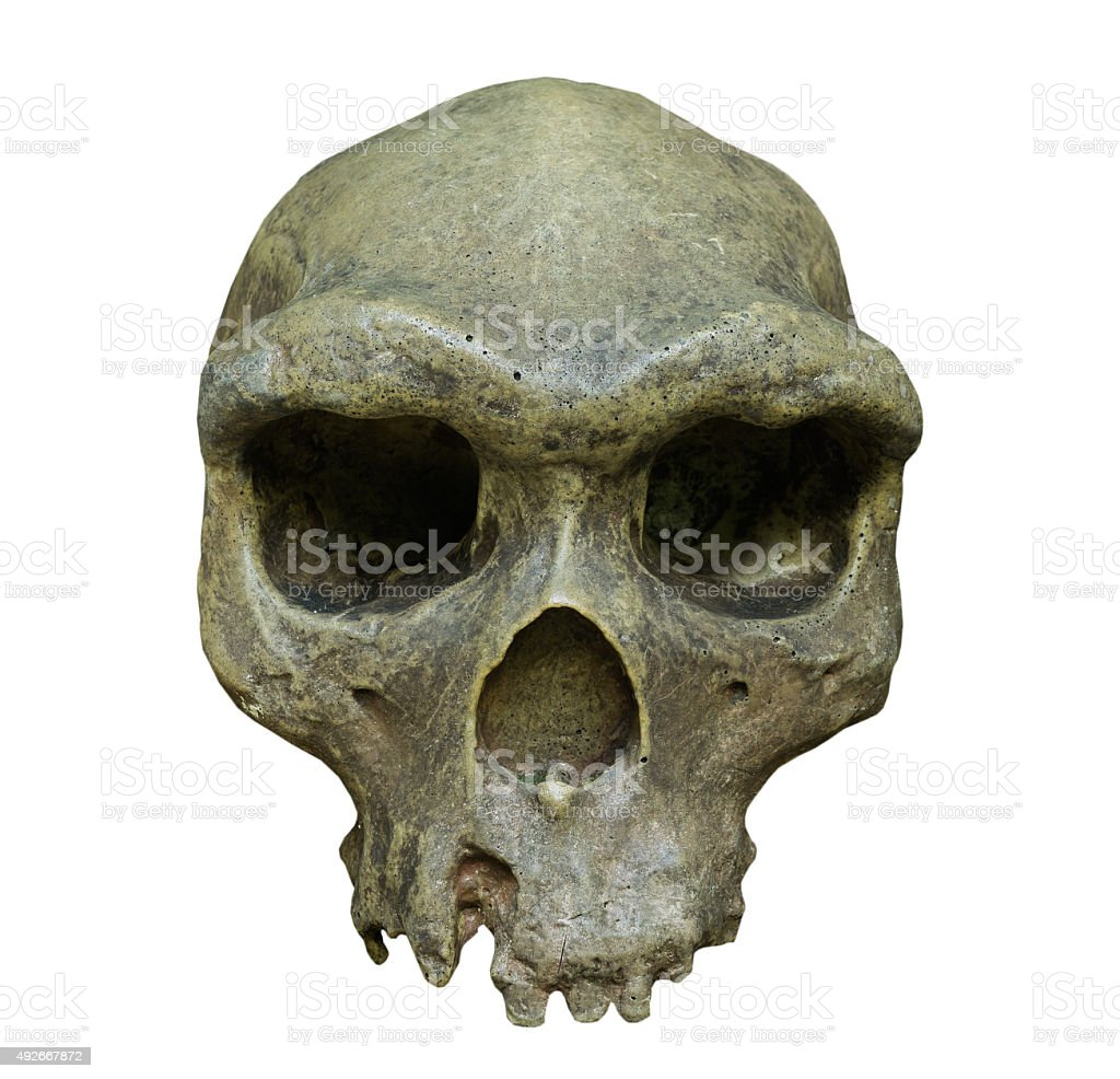 The skull of Homo erectus on white background stock photo
