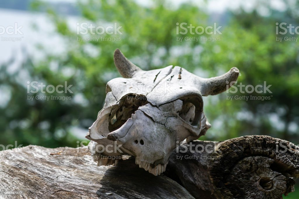 the skull of the animal lies on an old stump around the fragrant young green foliage of trees royalty-free stock photo