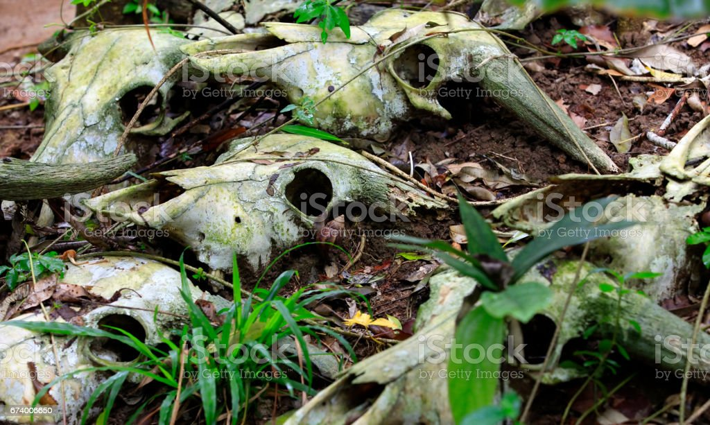 The skulls of dead cows in the forest. China stock photo
