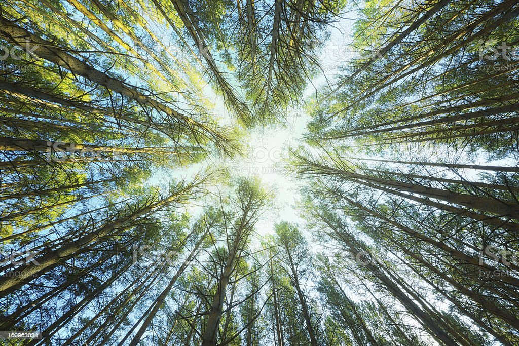 The sky through trunks of pines stock photo
