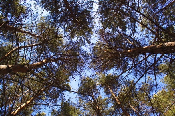 The sky with the tops of the trees. stock photo