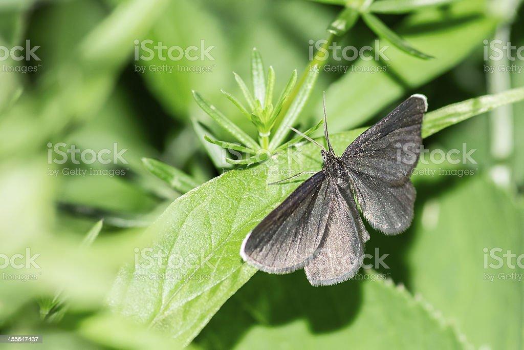 The Small Blue ,Cupido minimus royalty-free stock photo