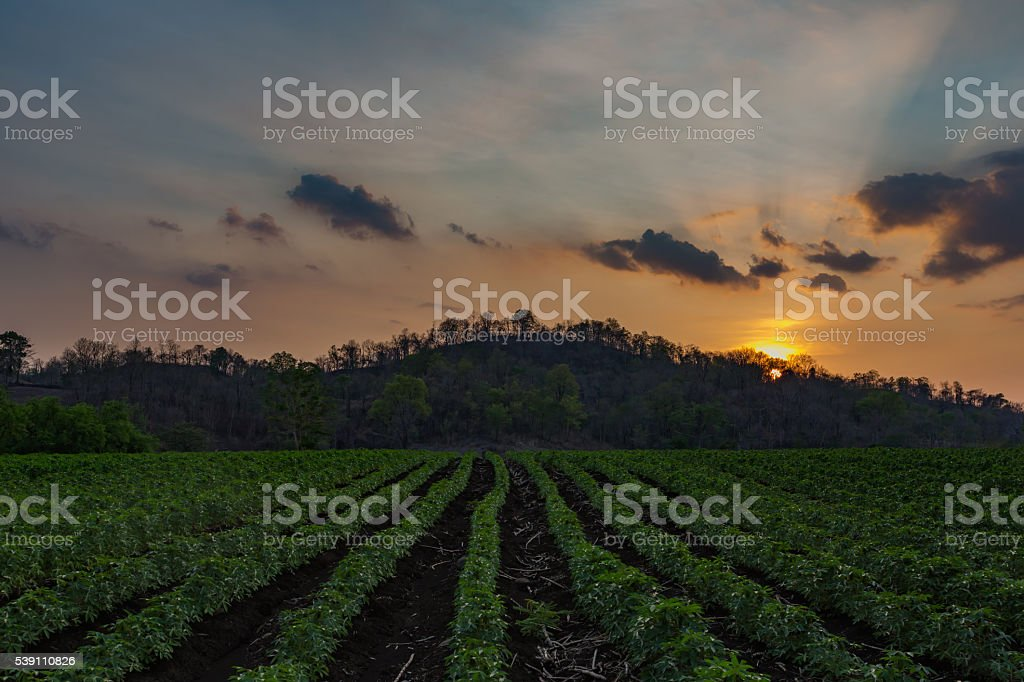 The small cassava in the morning,Thailand. stock photo