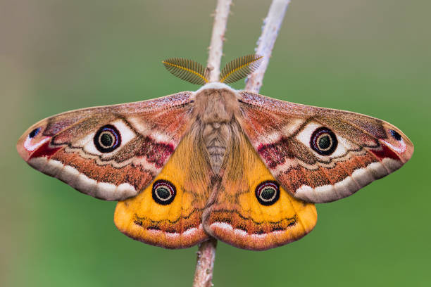 The Small Emperor Moth (Saturnia pavonia) stock photo