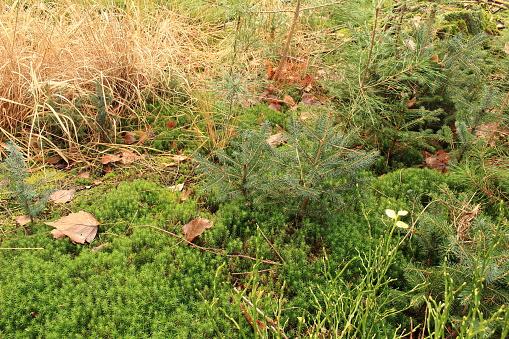 ein kleiner Tannenbaum auf dem Waldboden