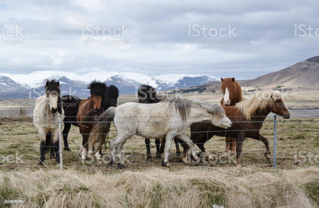 El Pequeño Rebaño De Islandic Ponis De Pie Detrás De La