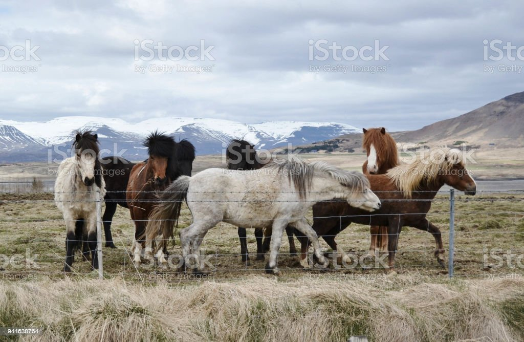 The Small Herd of Islandic Ponnies Standing behind the Fence on Meadow under Mountains. stock photo