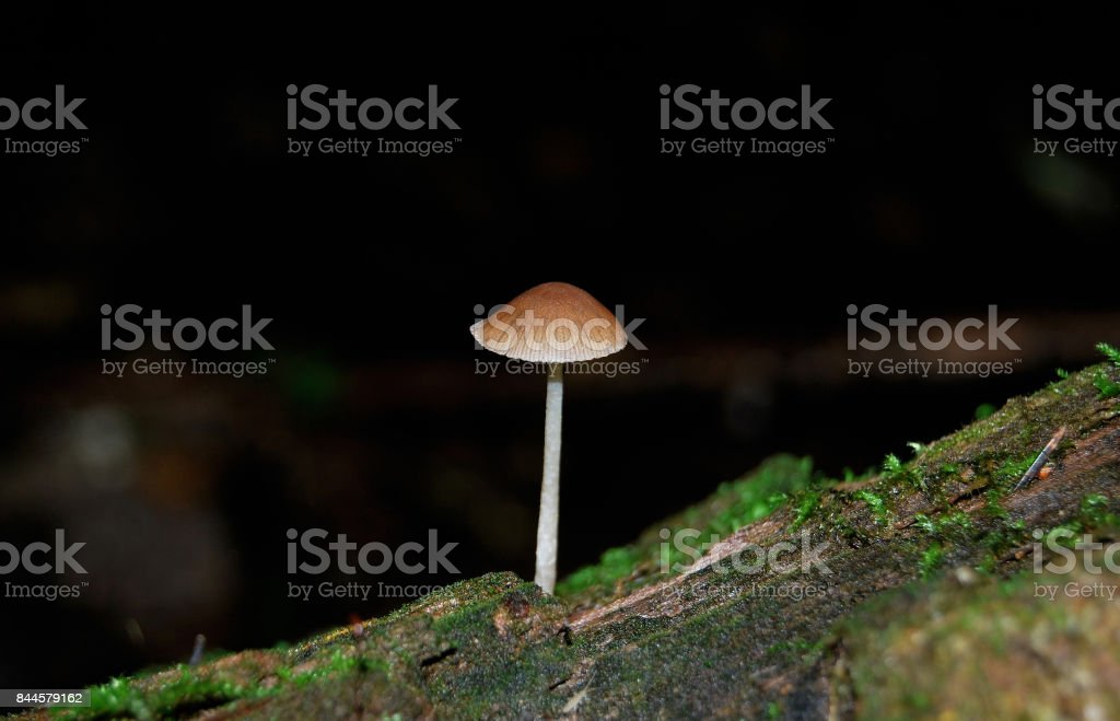 The small poisonous fungus Galerina Swamp (Galerina paludosa) stock photo