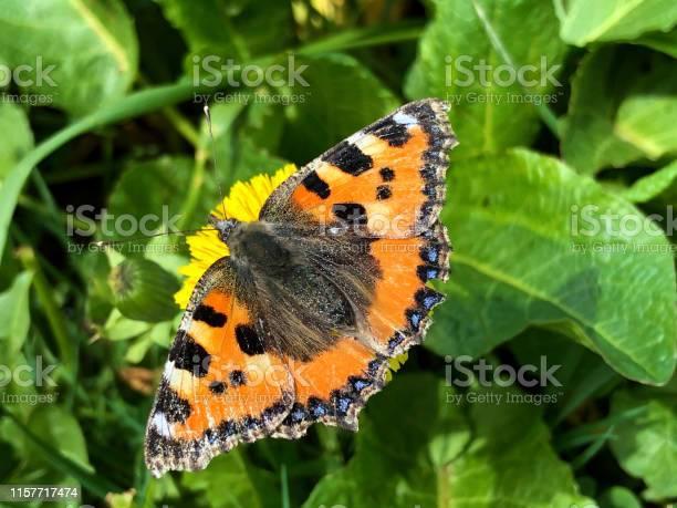 The small tortoiseshell butterfly or kleiner fuchs schmetterling of picture id1157717474?b=1&k=6&m=1157717474&s=612x612&h=g q3l9tc5hqiidhf rh suqovupnfcvjfgvtveewzxe=