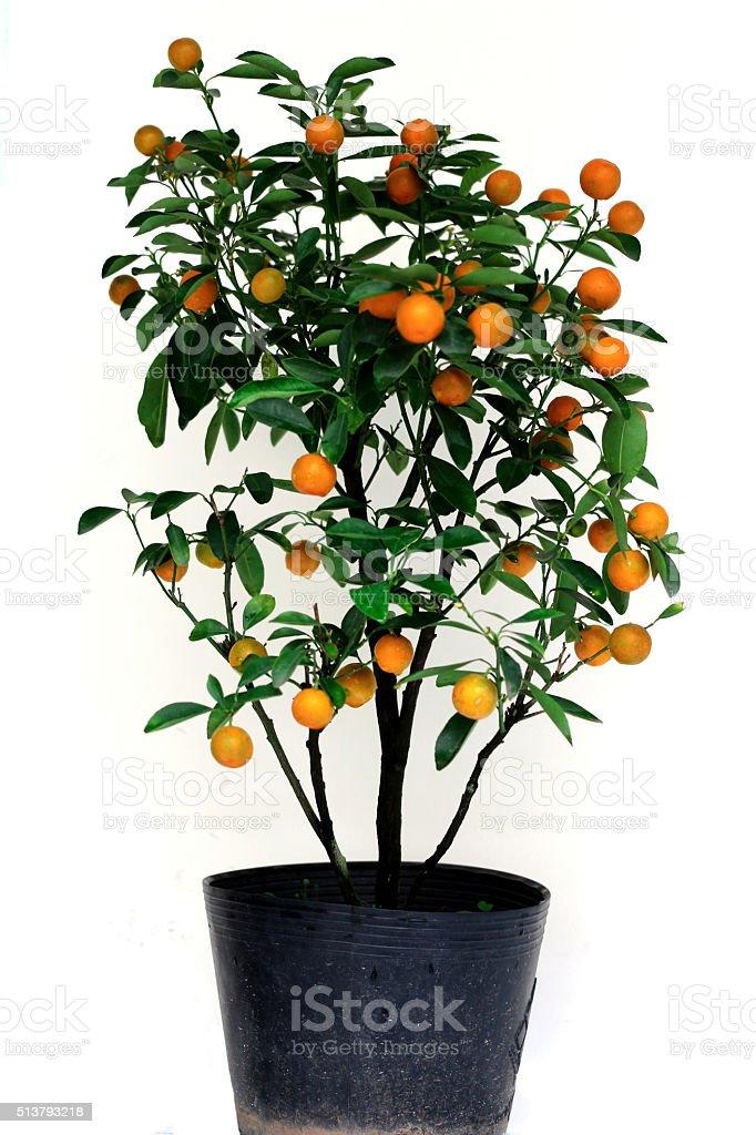 The small tropical tree has many fruits stock photo
