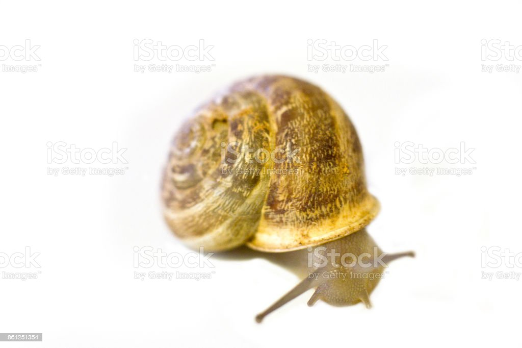 The snail isolated royalty-free stock photo