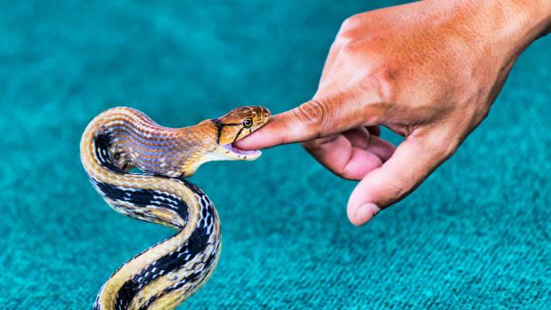 蛇 coelognathus その指 - セレクティブ フォーカスをかむ - ヘビ ストックフォトと画像