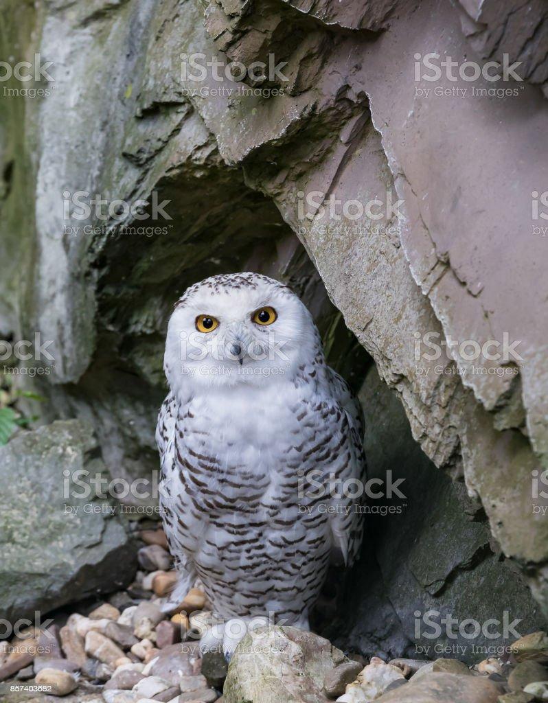 The snow owl - Bubo scandiacus stock photo