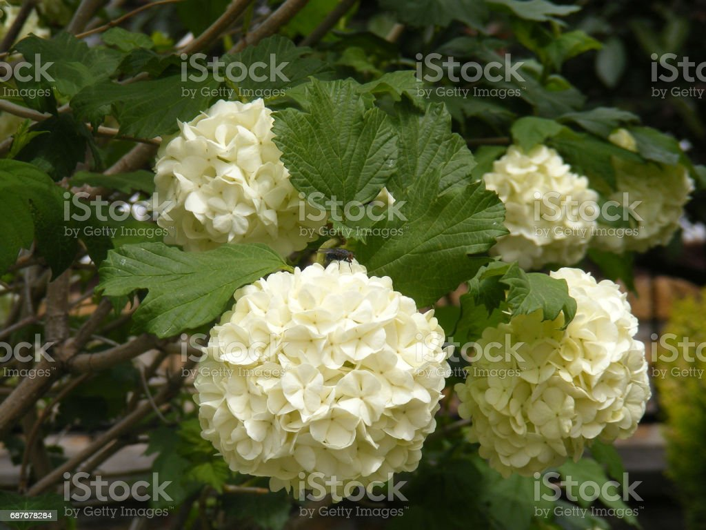The snowball tree that opens the flowers of the spring, and the white...