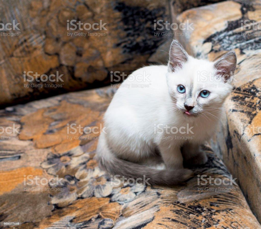 the snow-white Thai kitten has hidden on a chair - foto de acervo