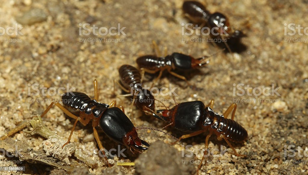 the soldier termite of soil eaters stock photo
