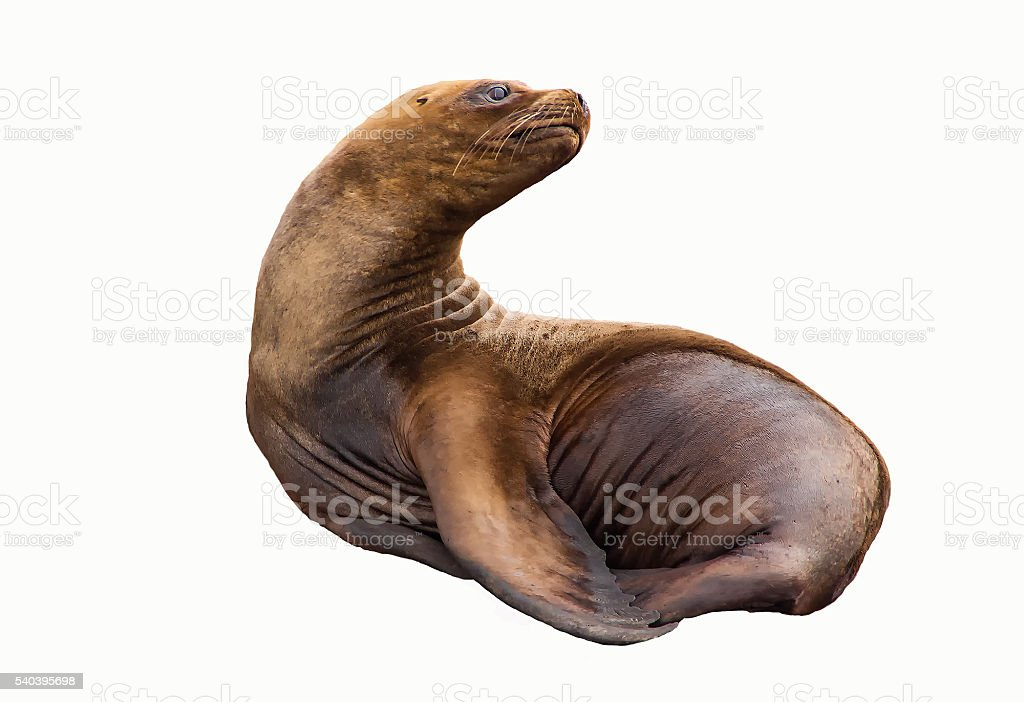 The South American sea lion isolated on white. stock photo
