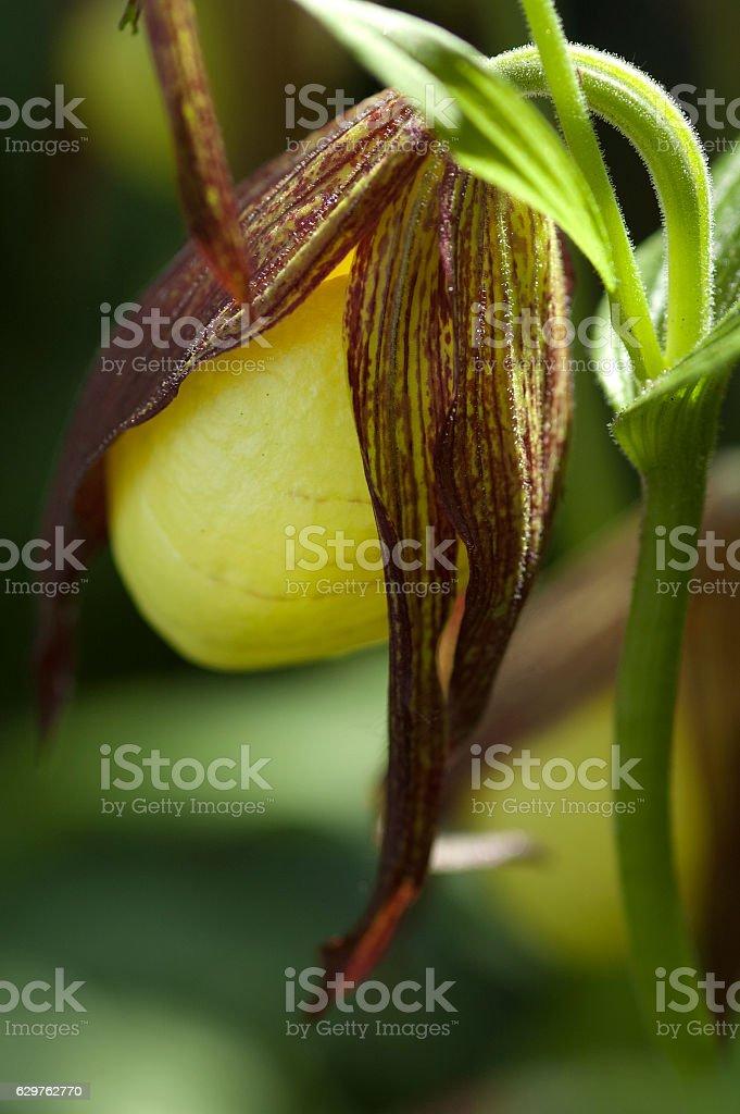 the southern lady's slipper orchid (Cypripedium  kentuckiense) stock photo