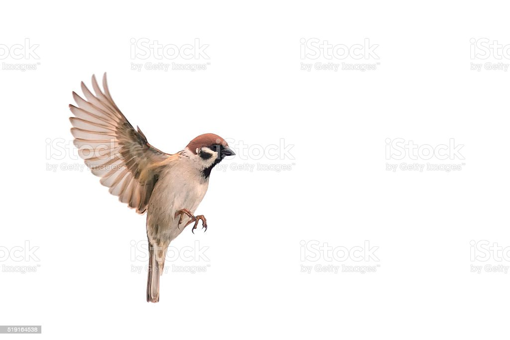 the Sparrow flies to spread its wings stock photo