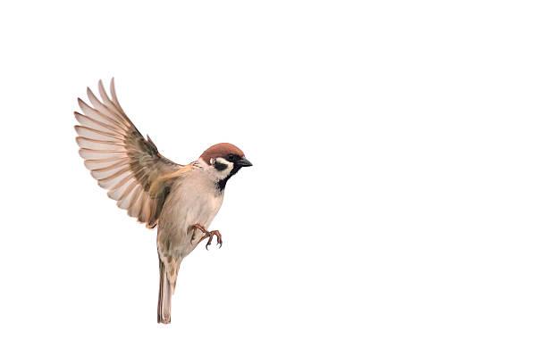gorrión vuela a la diseminación sus alas - pájaro fotografías e imágenes de stock