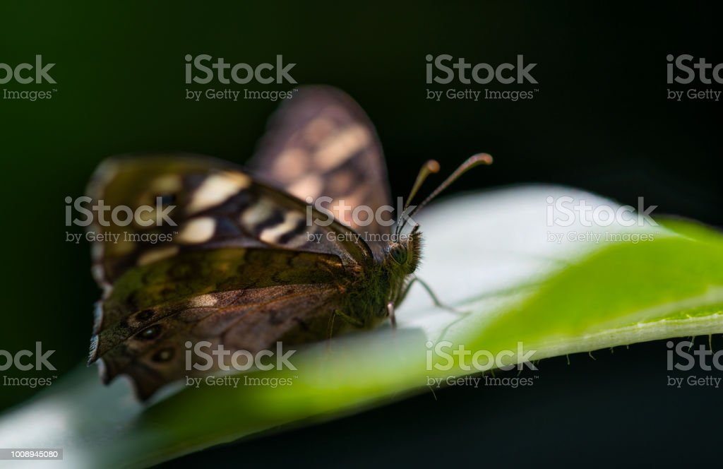 The Speckled Wood. stock photo