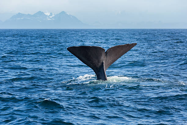 The sperm whale tail in the ocean - Photo